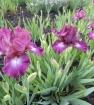Ирисы.цветение среднерослых.