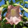 Бругмансия Аромагия розовая (серия Розовые сны)