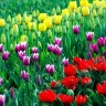 Тюльпаны, смесь