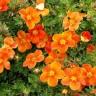 Лапчатка кустарниковая Хоплиз Оранж