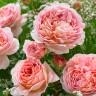 Роза Абрахам Дерби штамбовая