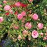 Роза Помпонелла KORDES