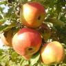 Яблоня Весялина