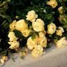 Роза Зоннеширм штамбовая