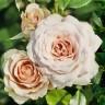 Роза Лакре