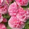 Мальва Розовые кружева