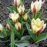 Тюльпан Ауторити