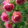 Роза Загадка (Флорибунда, розовая)