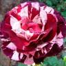 Роза Нью Имэйджин