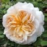 Роза Крокус Роуз