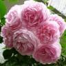 Роза Жасмина