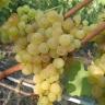 Виноград Кишмиш № 342 (Венгерский)