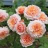 Роза штамбовая Версайни