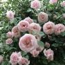 Роза Нью Даун