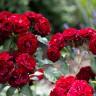 Роза Лаваглут штамбовая