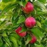 Яблоня Арбат (узкопирамидальная)