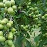Грецкий орех Великан