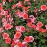 Роза штамбовая Миами