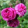 Роза Куин оф зе Виолетс