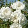 Роза Свони ДУБЛЬ