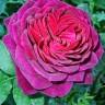Роза Соул