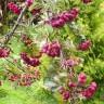 Рябина Бурка черноплодная
