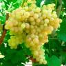 Виноград Кишмиш № 342 (двухлетний)