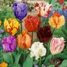 Тюльпаны, смесь (мелкая луковица)