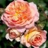 Роза штамбовая Концерто 94