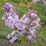 Сирень Калифорния Роуз