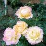 Роза Пис