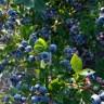 Голубика Блюджей