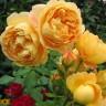 Роза штамбовая Голден Селебрейшн