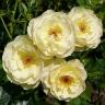 Роза Зонненширм