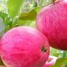 Яблоня Розовый налив