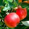 Яблоня Грушевое
