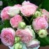 Роза штамбовая Эден Роуз
