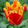 Тюльпан Фабио