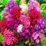Флокс Друммонда, крупноцветковая смесь