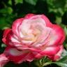 Роза Жубиле дю Принс де Монако штамбовая