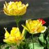 Тюльпан Акебоно