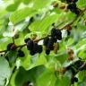 Шелковица Черная жемчужина