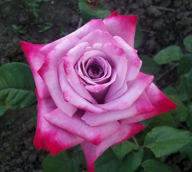 роза парадиз фото и описание похороны
