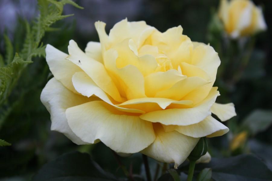роза сорт ландора фото и описание предприниматель