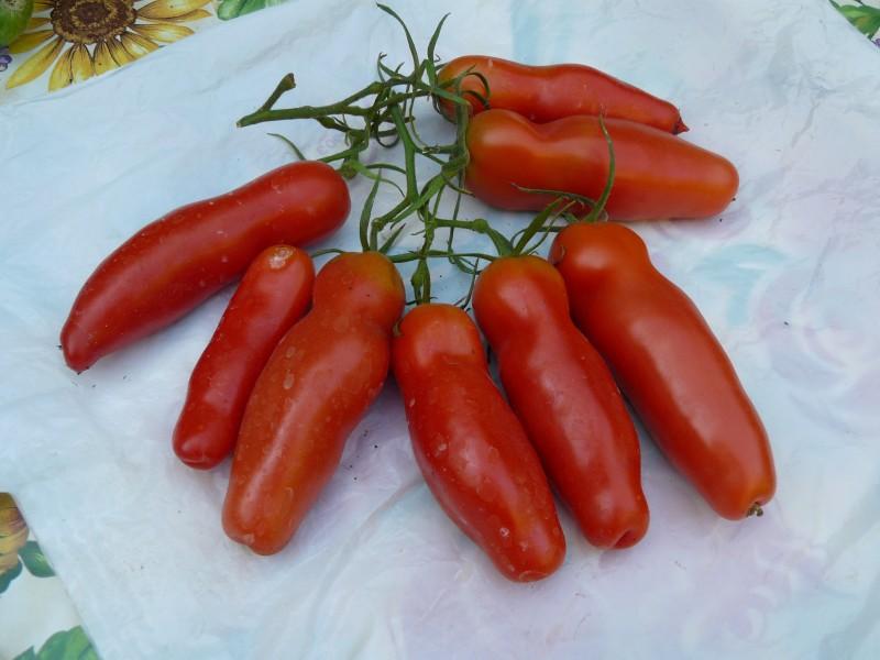 годы, помидоры женское счастье фото всегда есть