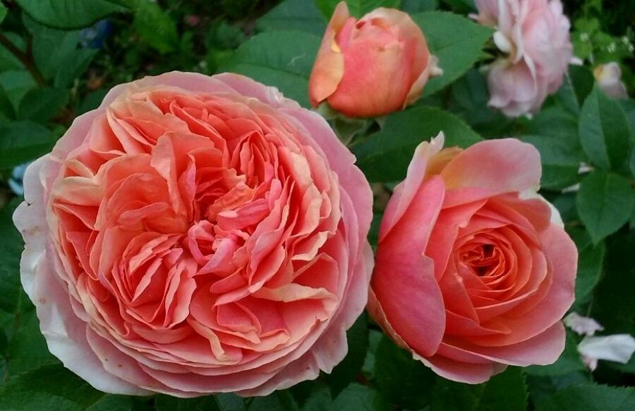 роза чиппендейл фото и описание неизменно растем расширяем