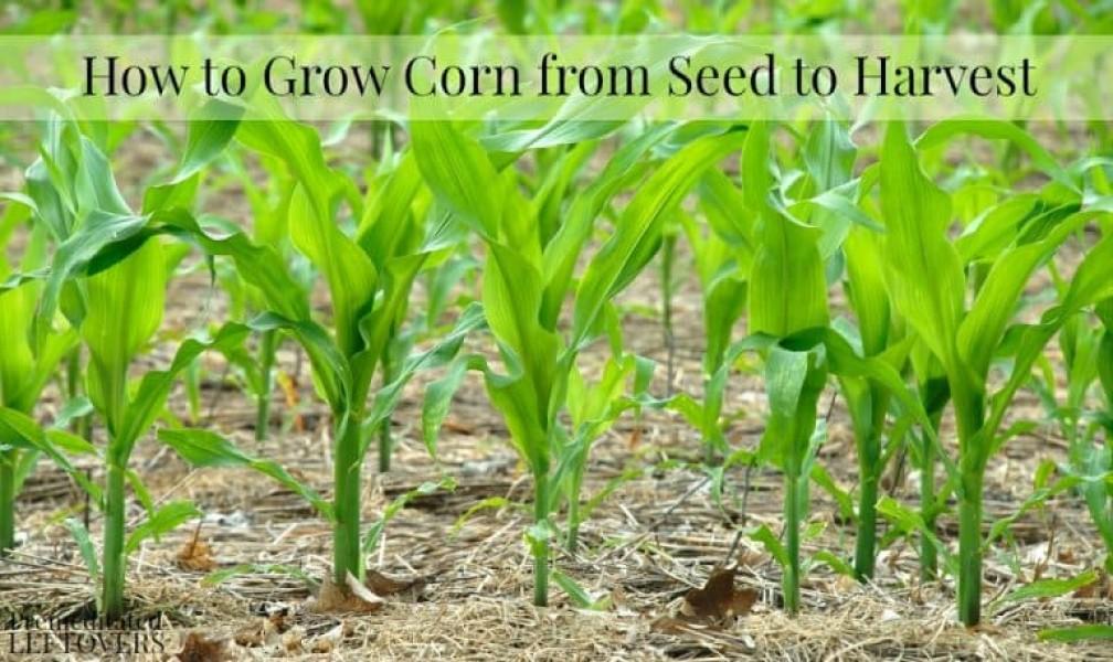 How To Grow Corn My Garden