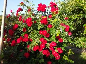Канадская роза АДЕЛАИДА ХУДЛЕС