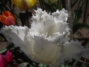 """Тюльпаны, """" редеса"""""""