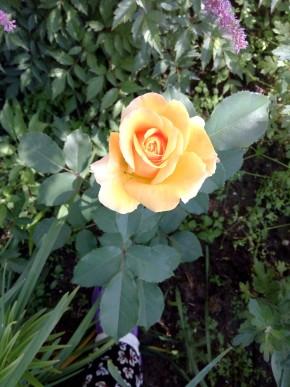 Роза цветет впервые
